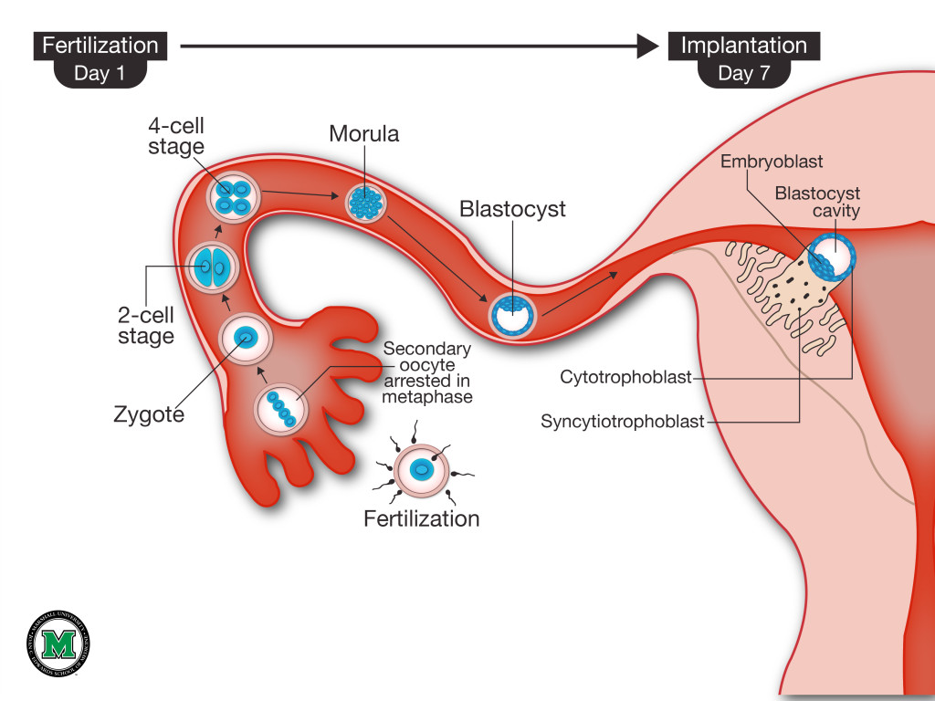 Fertilization and Implantation-MU